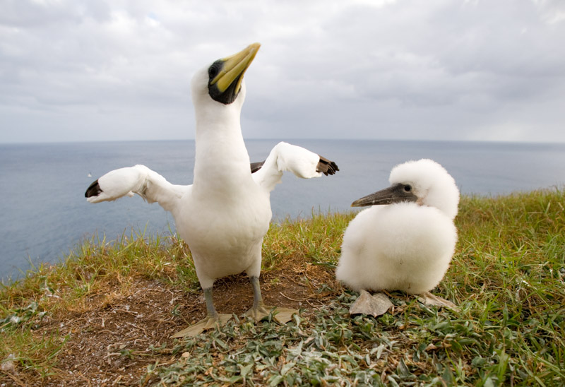 Tasman Booby with chick