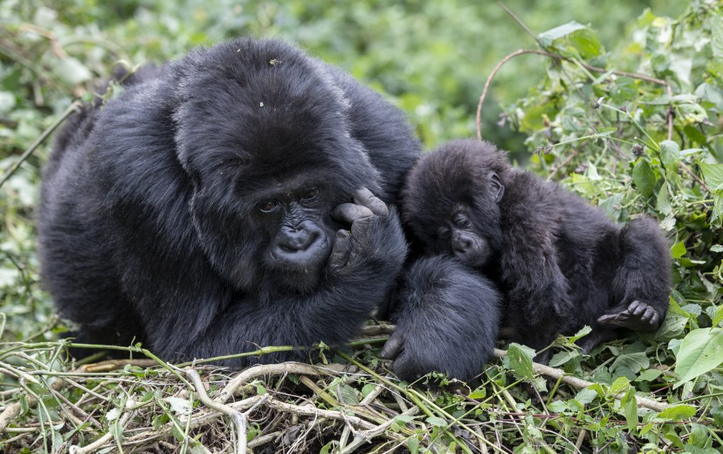 Tender moment between mother and infant Mountain Gorilla_Rwanda_Africa
