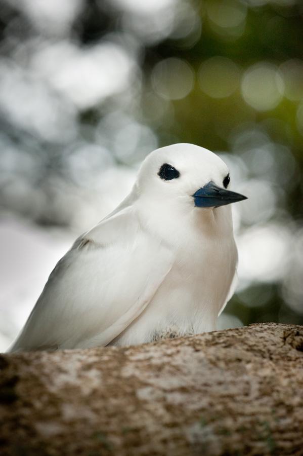 White Tern - Lord Howe Island