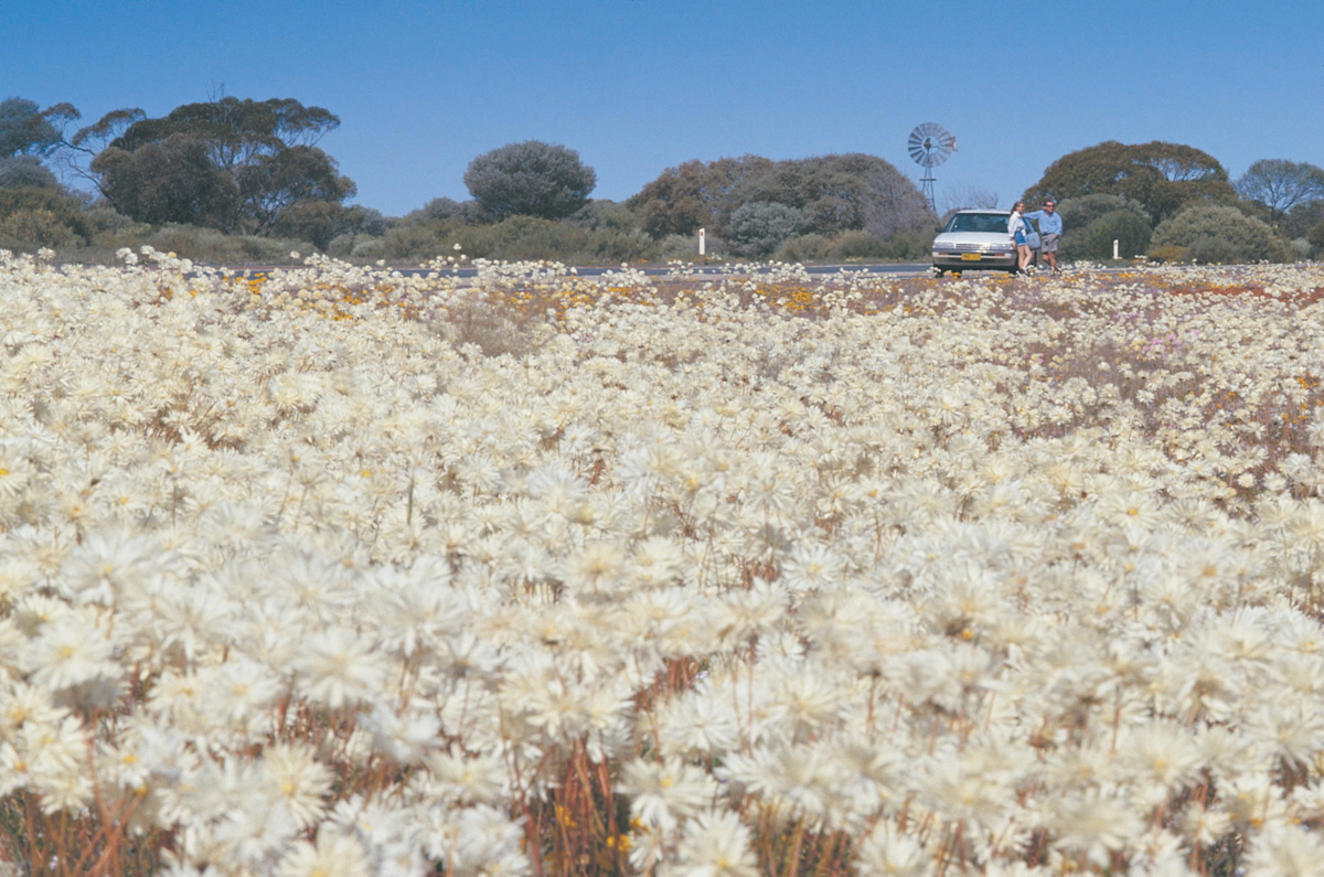 White everlastings on the roadside credit Tourism Western Australia