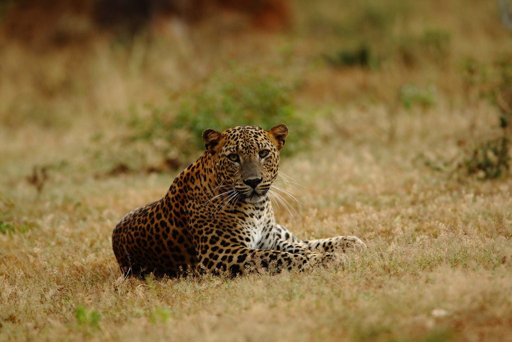 adult male leopard