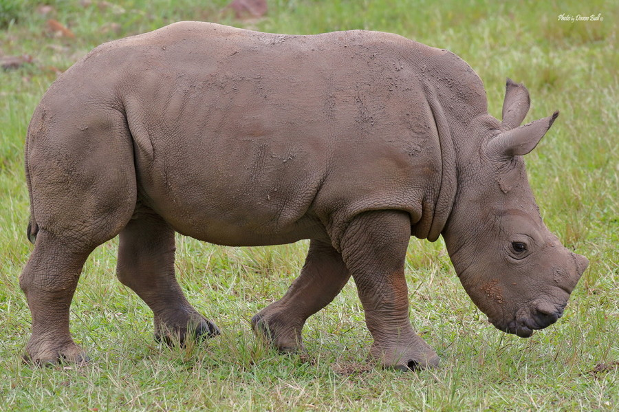 baby rhino australia zoo devon bull