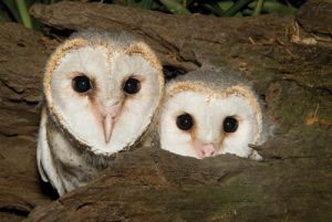 Barn Owls | Wildlife Photography Workshops