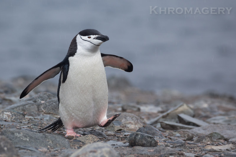 Bird on a mission | Antarctic Photography Workshop and Tour