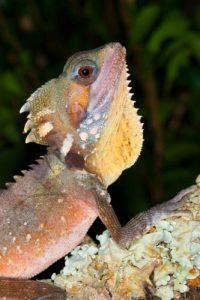 Boyd's Rainforest Dragon | Wildlife Photography Courses