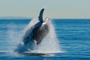 breaching-humpbacked-whale