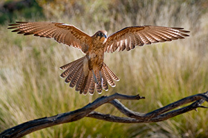 Brown-Falcon