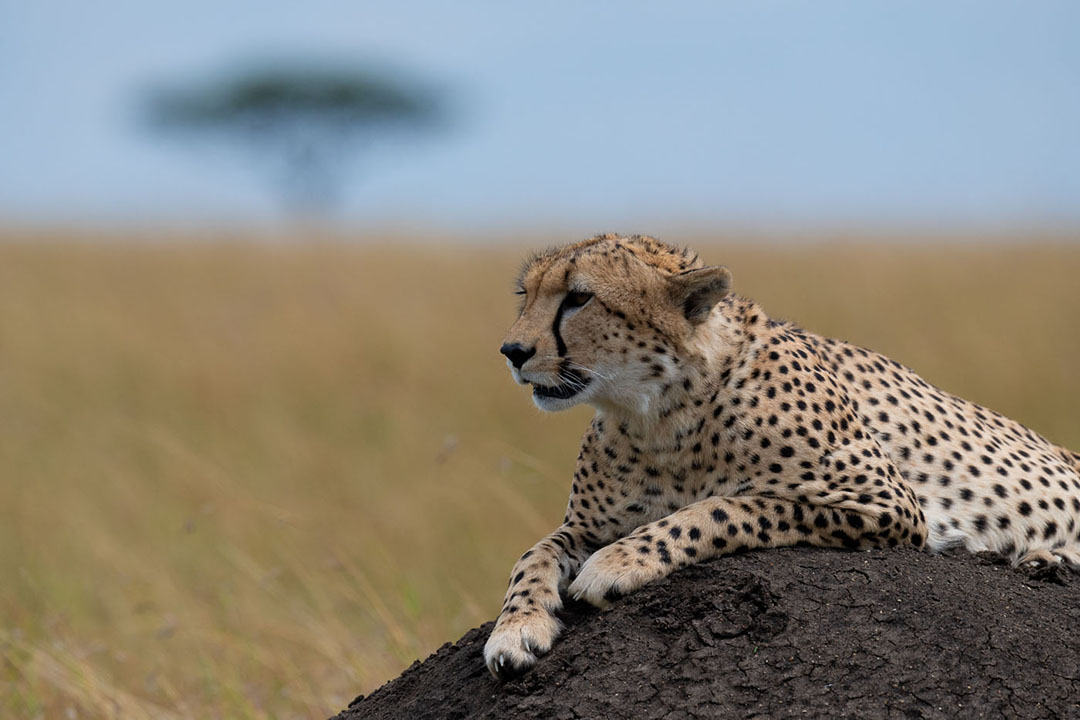 cheetah kenya africa