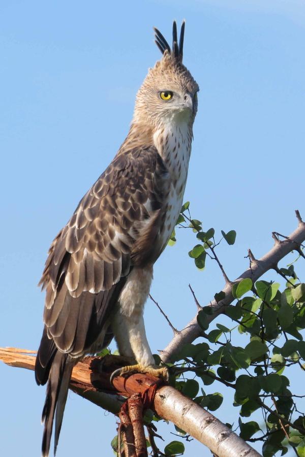crested hawk eagle not endamic