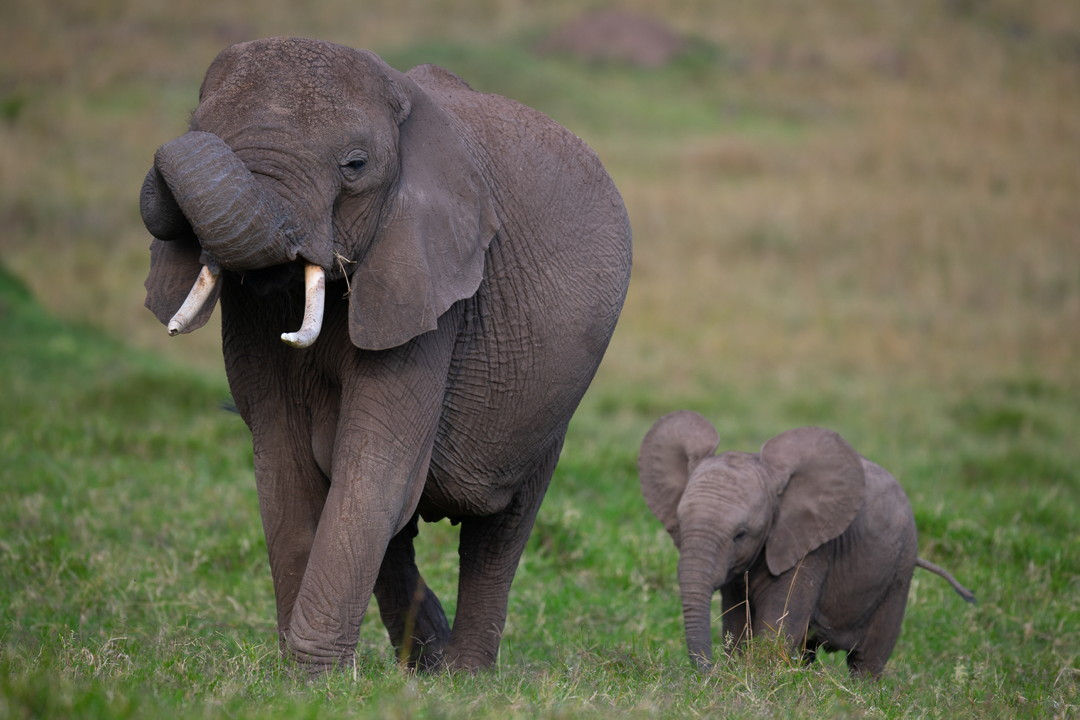 elephants cow calf kenya