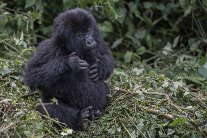 Just like his dad_Infant Mountain Gorilla beating his chest