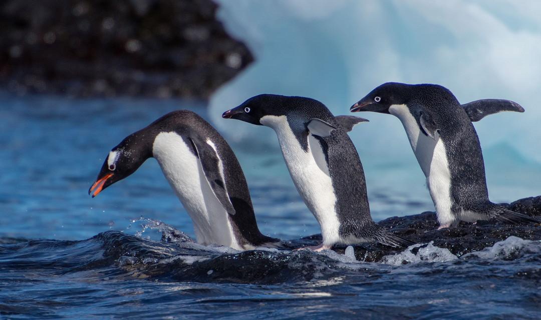 leaping penguins antarctica