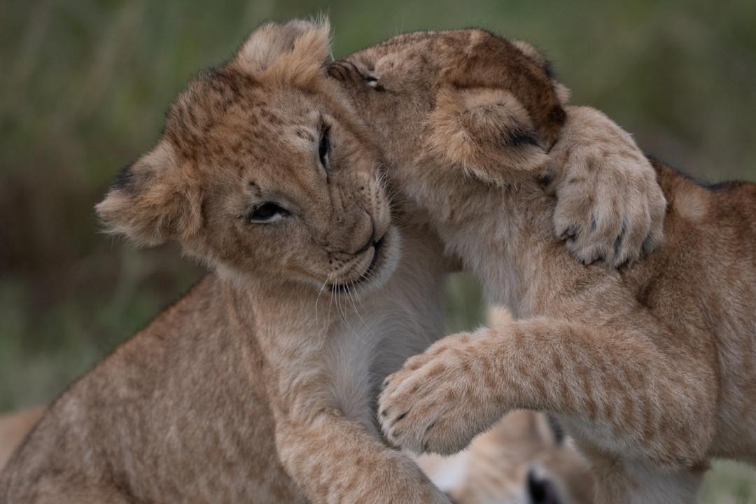 lion cubs kenya