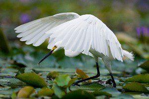 little egret fishing bowra workshop