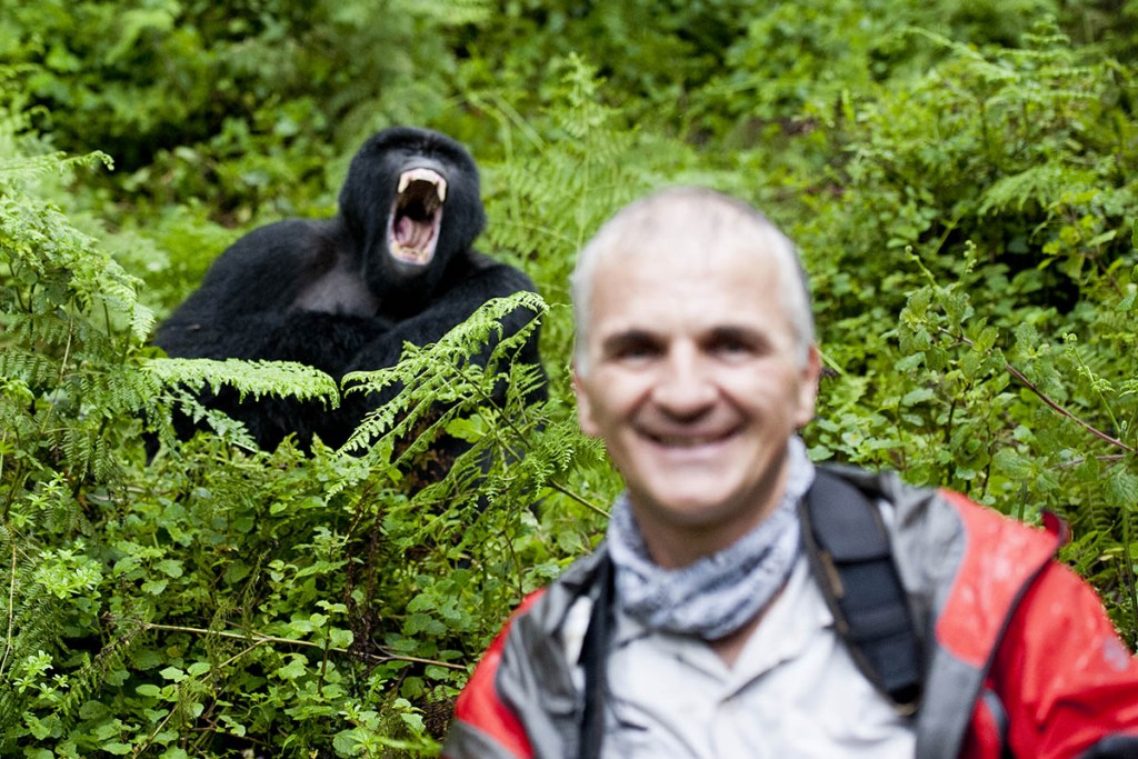 Mountain Gorilla Photobomb