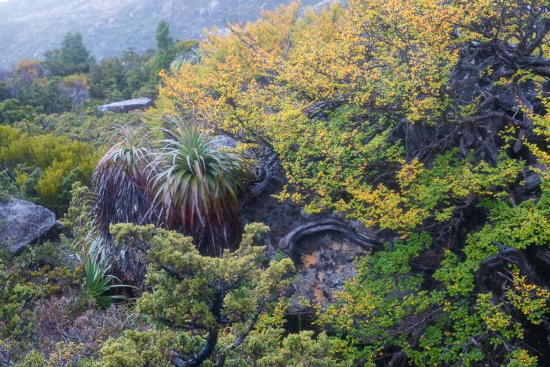 Nothofagus Tasmania