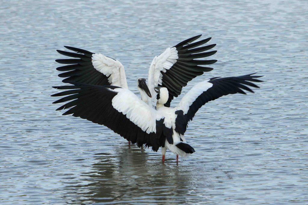 open-bill storks
