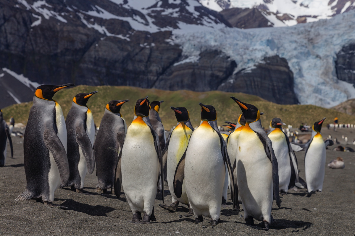 King Penguins at Gold Harbour