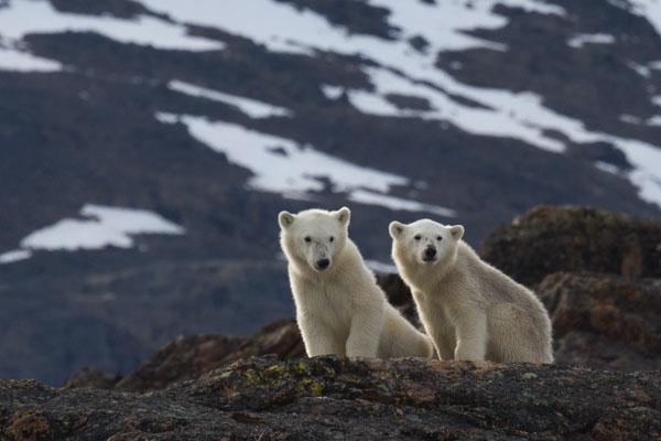 Polar bear cubs © David Burren