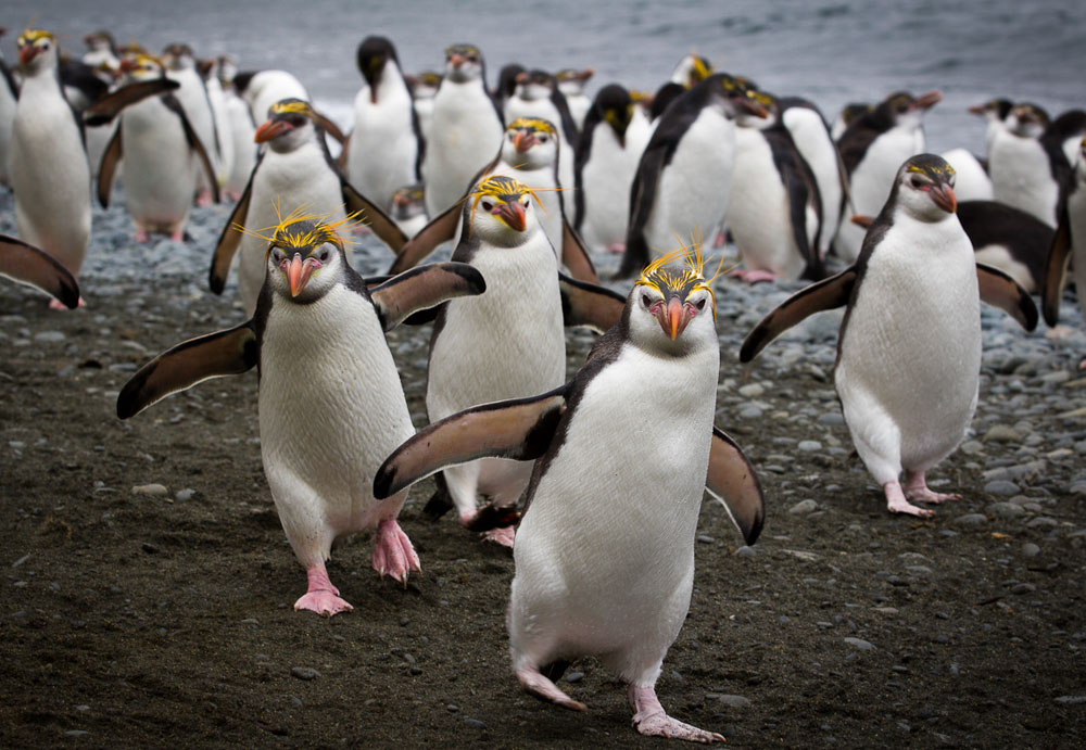 Royal Penguins © Meghan Kelly