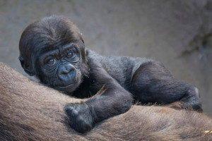 Taronga gorilla baby
