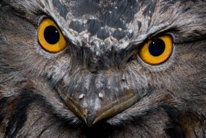 Tawny Frogmouth | Wildlife Photography Courses
